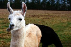 Llamageddon: Two llamas on the loose in Winsford, Cheshire Police warn